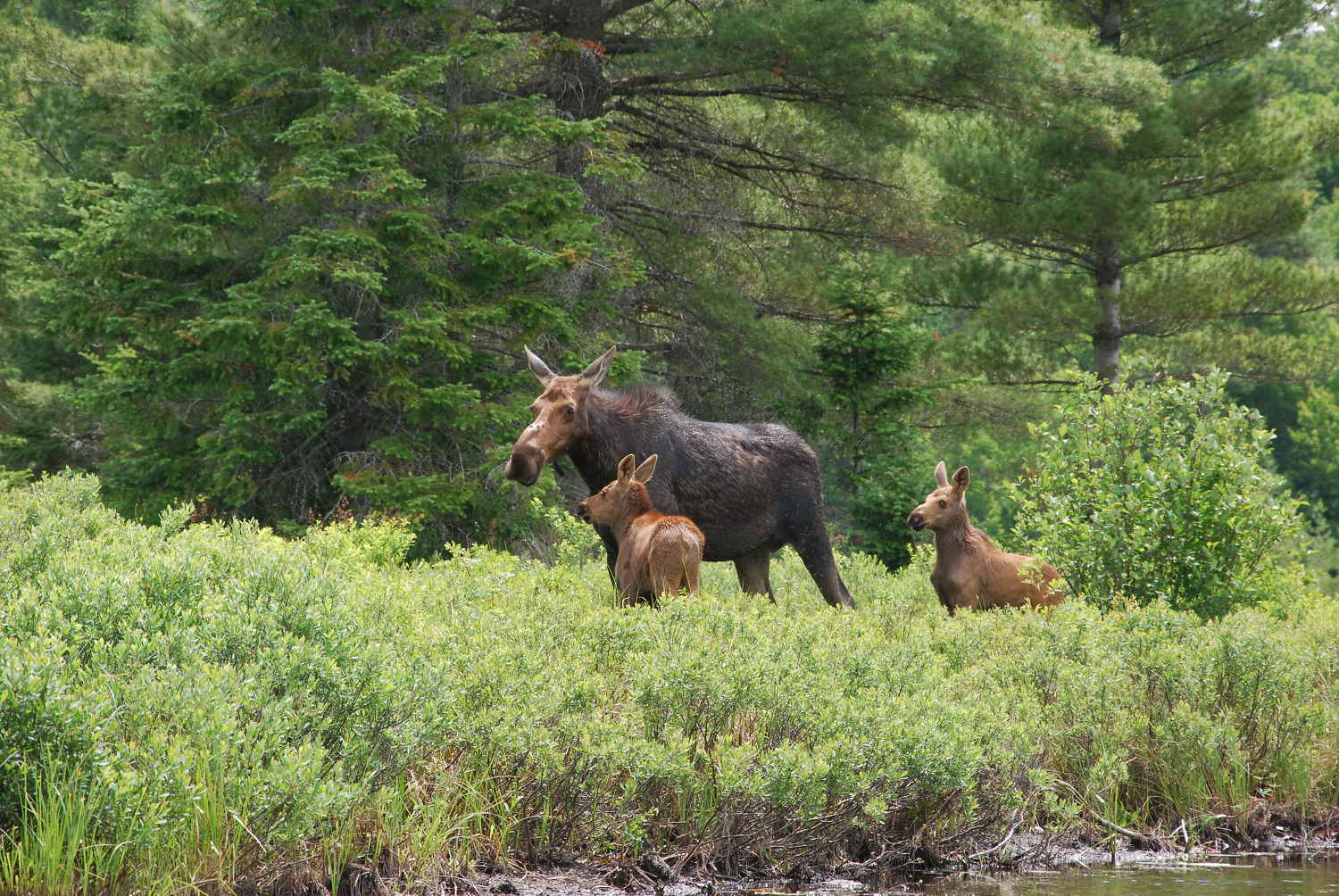 Watch moose and other wildlife on a canoe safari in Algonquin Park